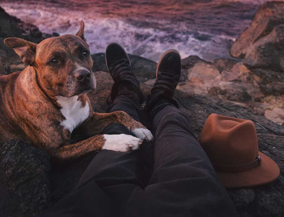 pit bull laying on owner