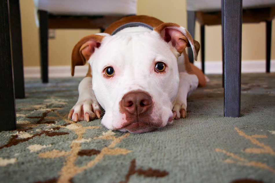 pit bull under table