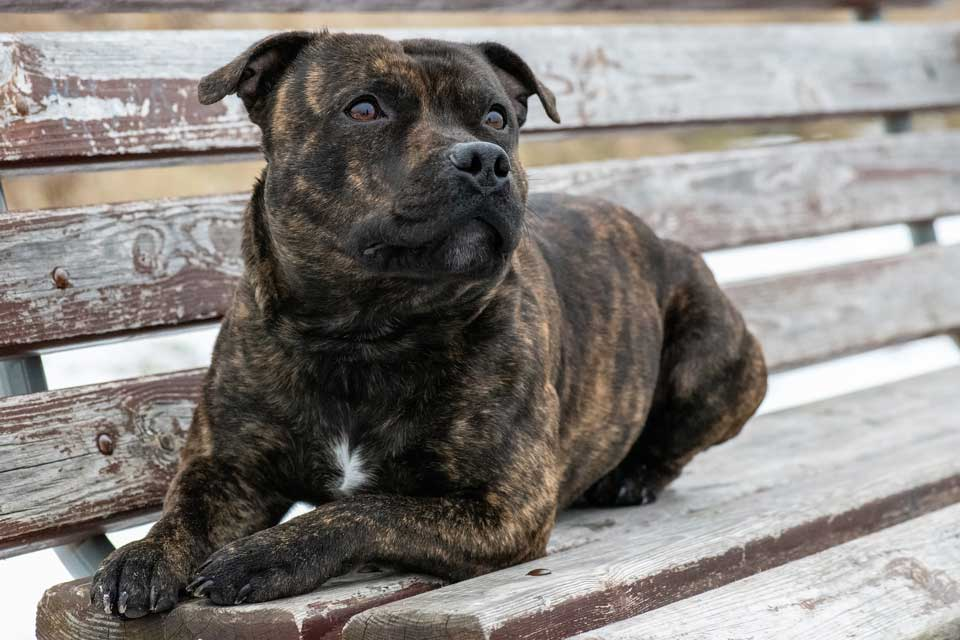 staffy on a bench
