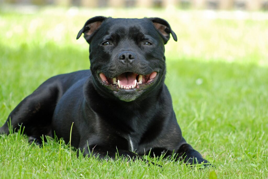 staffy in grass smiling