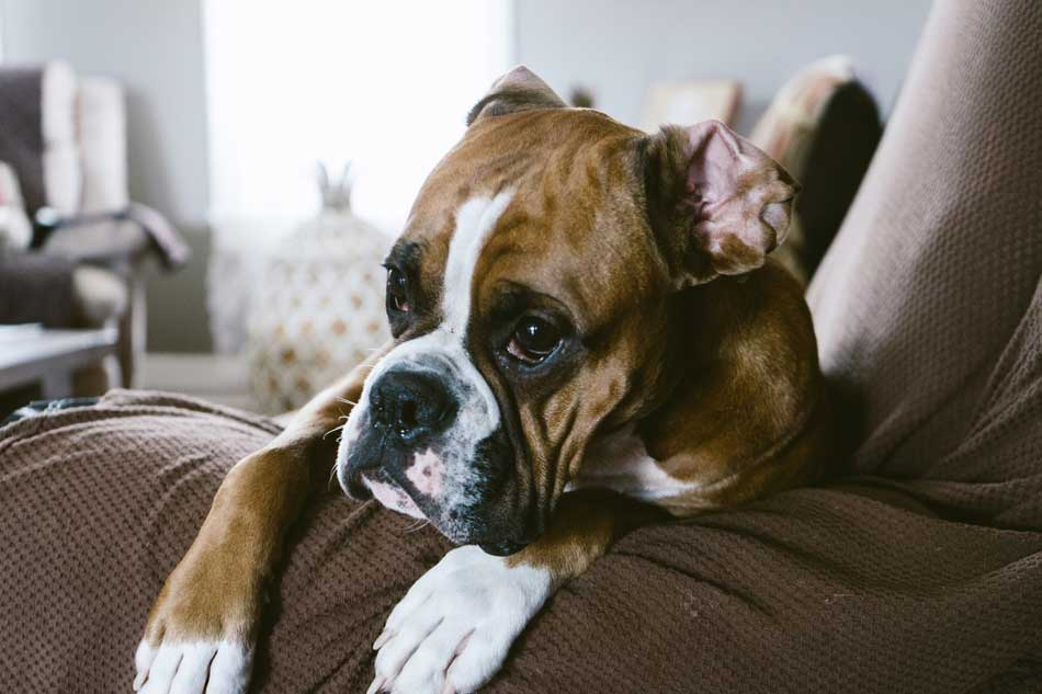 boxer on couch