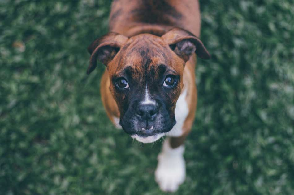boxer puppy looking up