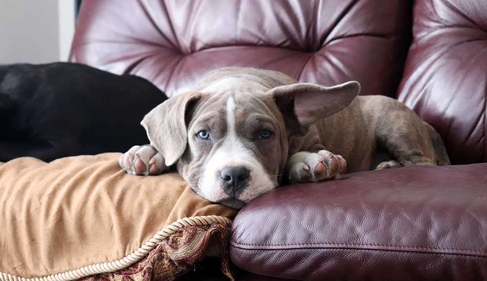 american bully chester on couch