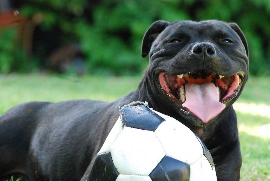 staffy exercise with ball