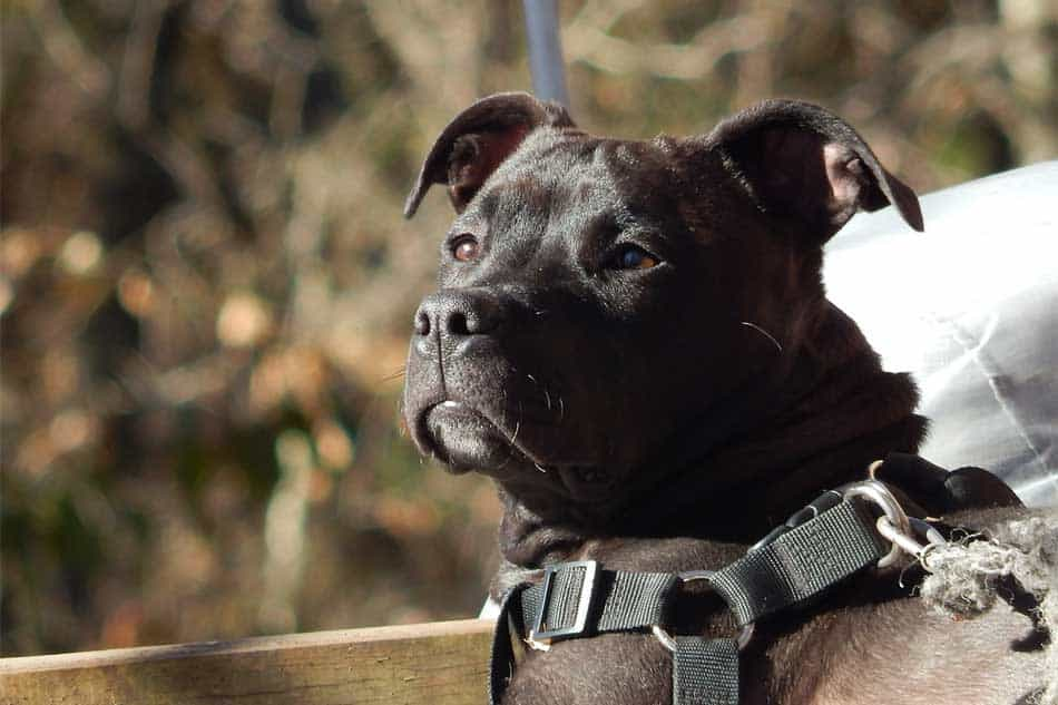 staffy staring into the distance