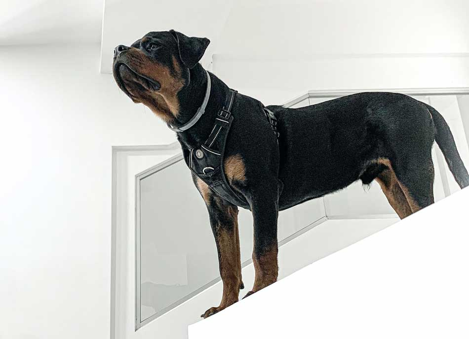 rottweiler home alone on stairs