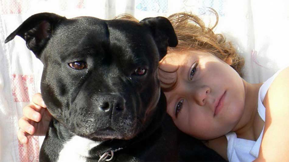 staffy with a kid