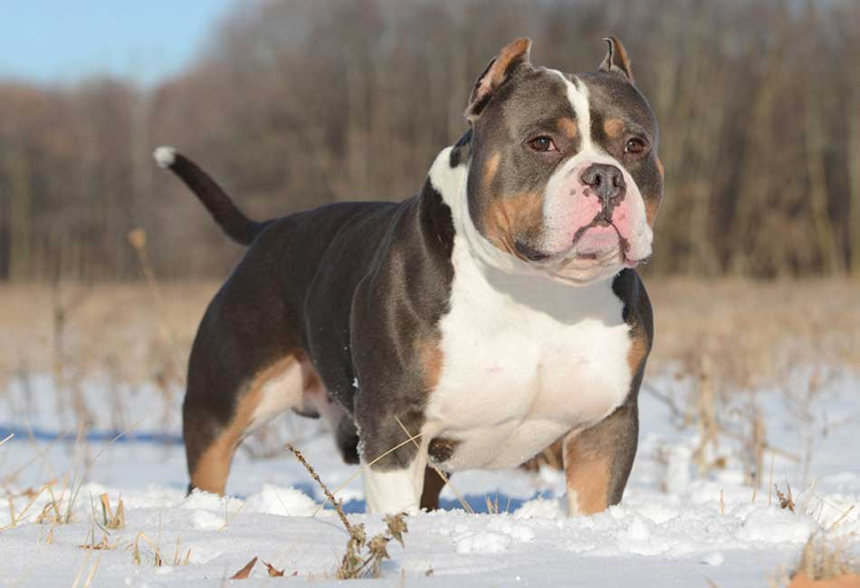 american bully outside in snow
