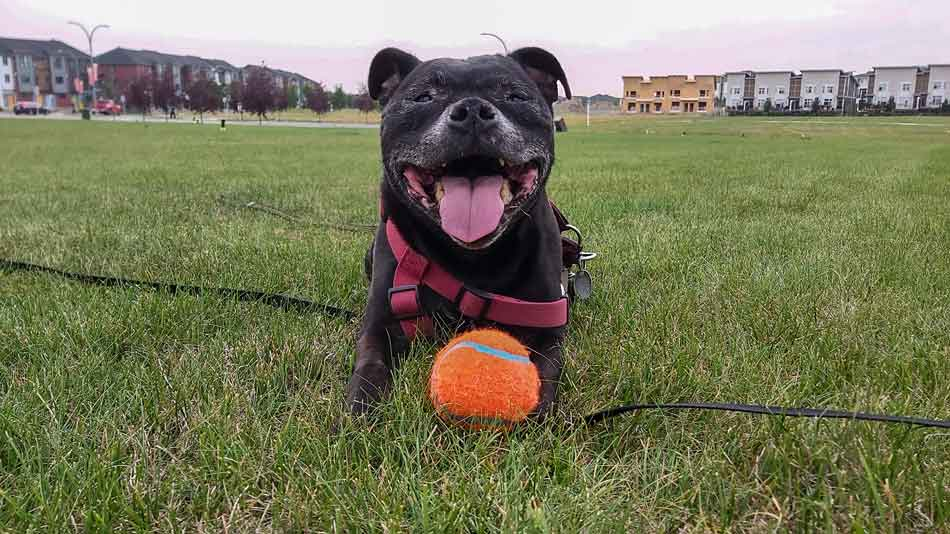 staffy with ball smiling Ruby