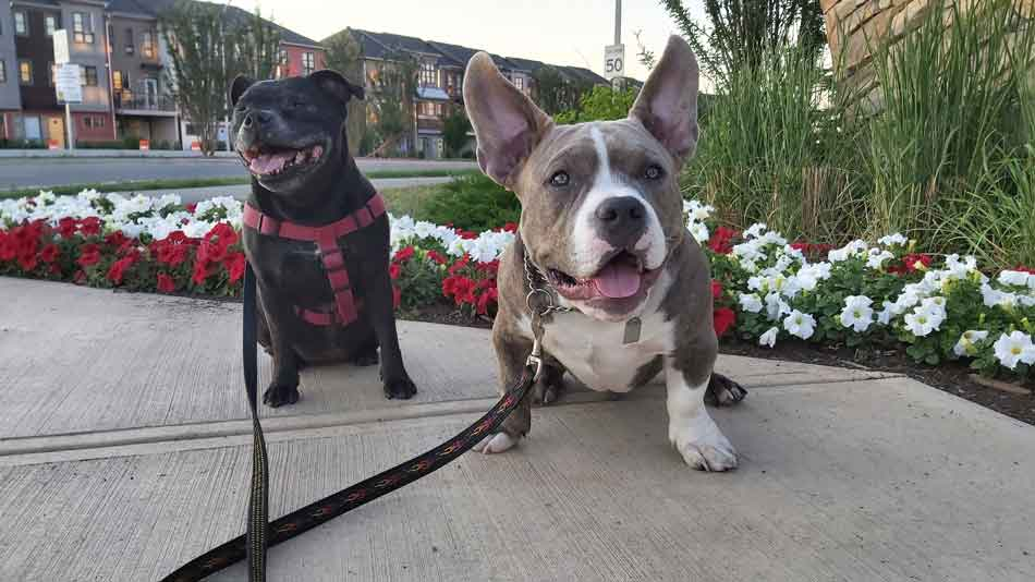 staffy and american bully puppy friends Ruby and Chester