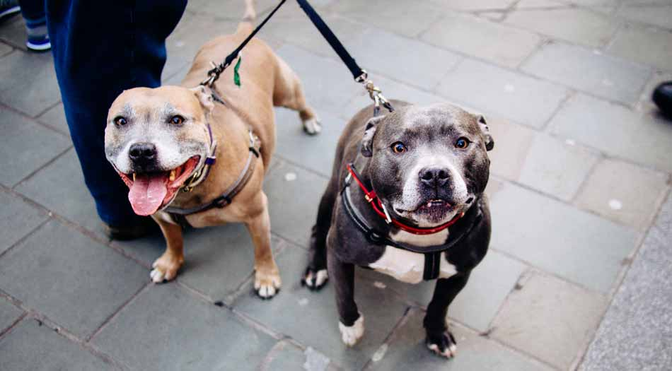 two staffy dogs on leash